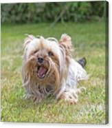 Yorkshire Terrier Is Smiling At The Camera Canvas Print