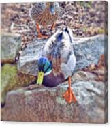 You Go First - Male And Female Mallard Ducks Canvas Print