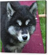 Young Alusky Puppy Standing On A Teeter Totter Canvas Print