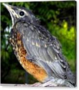 Young American Robin Canvas Print
