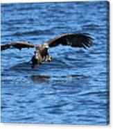 Young Bald Eagle I Canvas Print