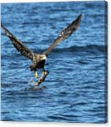 Young Bald Eagle II Canvas Print