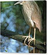 Young Black Crowned Night Heron Canvas Print