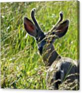 Young Black-tailed Deer With New Antlers Canvas Print