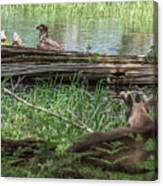 Young Buck Watching Eagle Canvas Print