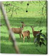 Young Buck With Two Does In The Meadow Canvas Print