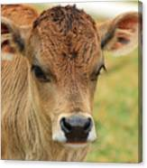 Young Calf In A Pasture Canvas Print