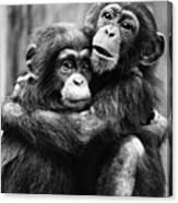 Young Chimpanzees Canvas Print