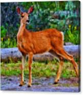 Young Doe Canvas Print
