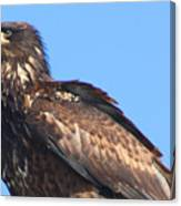Young Eagle  Canvas Print