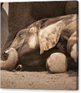 Young Elephant Lying Down Canvas Print