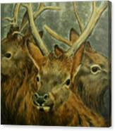 Young Elk Trio- Wapiti Canvas Print