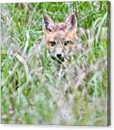 Young Fox Kit Hiding In Tall Grass Canvas Print