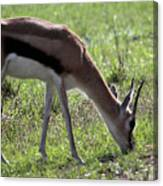 Young Gazelle Canvas Print