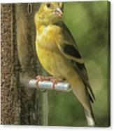 Young Goldfinch Canvas Print