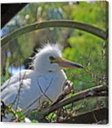 Young Great Egret Canvas Print