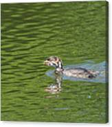 Young Grebe Canvas Print
