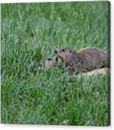 Young Groundhogs Peeking Canvas Print