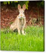 Young Healthy Wild Rabbit Eating Fresh Grass From Yard  Canvas Print