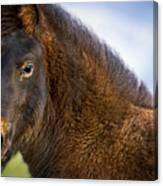 Young Icelandic Horse Canvas Print
