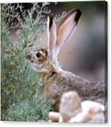 Young Jack Rabbit Snaking Canvas Print