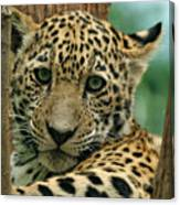 Young Jaguar Canvas Print