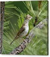 Young Lark Sparrow 1 Canvas Print
