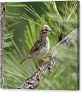 Young Lark Sparrow 2 Canvas Print