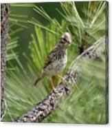 Young Lark Sparrow 3 Canvas Print