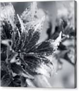 Young Leaves In Black And White Canvas Print