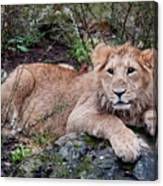 Young Lion  Canvas Print