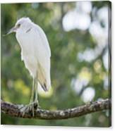 Young Little Blue Heron Canvas Print