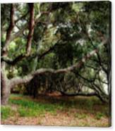 Young Live Oaks Canvas Print