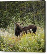 Young Male Moose Canvas Print