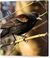 Young Male Red-winged Black Bird Canvas Print
