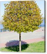 Young Maple Tree Canvas Print