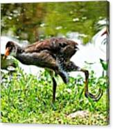 Young Moorhen Canvas Print