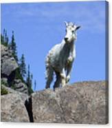 Young Mountain Goat Canvas Print
