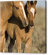 Young Mustangs Playing Canvas Print