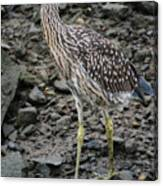 Young Night Heron Canvas Print
