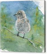 Young Northern Shrike Canvas Print