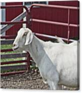 Young Old Goat White And Grayish Red Fence And Gate Barn In Close Proximity 2 9132017 Canvas Print