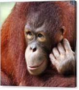 Young Orang Utan Looking Thoughtful Canvas Print
