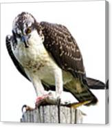 Young Osprey Canvas Print