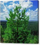 Young Pine Canvas Print