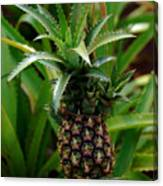 Young Pineapple Canvas Print