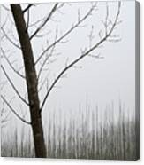 Young Ploplars Canvas Print