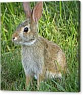 Young Rabbit Canvas Print