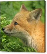 Young Red Fox In Profile Canvas Print