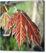 Young Red Maple Leaf In May Canvas Print